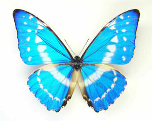 Unmounted Butterfly / Morphidae - Morpho cypris cypris, male, Colombia, 65mm