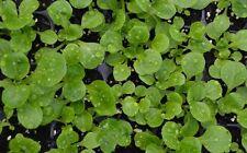 1000 Semillas de Canonigos (Valerianella locusta) seeds, llavors, sementes