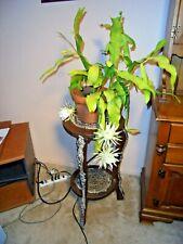 Rare Cactus Flower plants Japanese Epiphyllum Succulents seeds #293 20pc