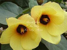 Hibiscus tiliaceus 10 seeds Hau Tree Flower blooms bright yellew Turning Red
