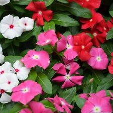 Rose Vinca Seeds Catharanthus Roseus Periwinkle Home Garden Yard Flower Annuals