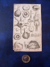 Antique Medical  Anatomy   Print  Copper Plate Engraving on laid paper