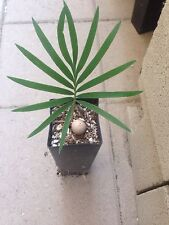 Cycas Panzhihuaensis ULTRA COLD HARDY Ice Blue Cycads Nursery Fast Growing Cycad