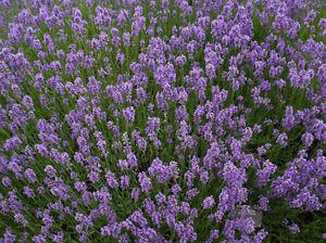 Lavender (Lavandula Angustifolia) - 300 Seeds - Hardy Perennial Flower