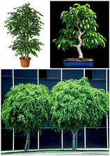 50 seeds of Ficus beniamina,bonsai seeds R