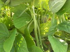 "' Bean- Heirloom Tender Green Bean Vegetable Seeds 70-75 ct (1 OZ.) 5-6"" Pods"