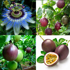 10pcs Tropical Exotic Passion Fruit Seeds Purple Passiflora Edulis Germination