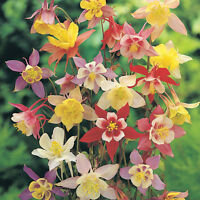 columbine, MCKANA'S GIANT MIX, perennial flower, 140 SEEDS! GroCo* BUY US USA