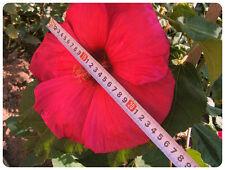 Hibiscus Moscheutos ROUGE VIF / bright red fleur jusqu'à 26cm!! 15 graines seeds