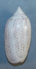 New listing Oliva Spicata Melchersi 53.95mm Beautiful Giant Specimen Guaymas, Sonora, Mexico