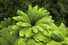 Garten Balkon Samen exotische Pflanze Kübelpflanze Zierpflanze WEICHER-BAUMFARN