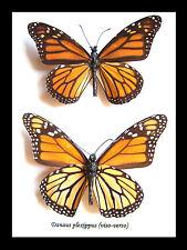 Monarch butterfly SALE was $85.00 NOW $73.00 Danaus plexippus BDDP