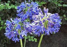 "1 Agapanthus/ Lily of the Nile-Large Plants! Stunning 5""-7"" Blue Flower Spheres!"