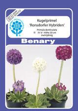 Kugelprimel Kugel Primel Primula denticulata Mischung ca.250 Korn Benary