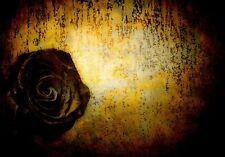 XXL Fototapete Wallprint schwarze Rose Floral 300 cm x 460 cm Fotoprint (9867)