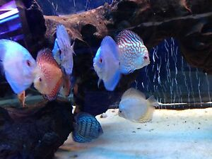 5 X Discus Mix Tropical Fish Beautiful Discusmodo Colour Pigeon Red Yellow Blue
