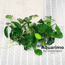 Anubias Nana Long Wavy 6 Loose Freshwater Aquarium Live Plant Decoration Tank
