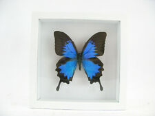 Blue Mountain Ulysses   echter wunderschöner Schmetterling  3D hinter Glas 17x17