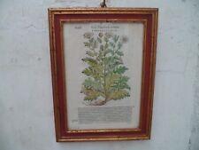 GRAVURE XVIIIe siècle  Chrysanthème sous verre dans encadrement bois peint