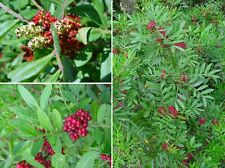 Pistacia lentiscus, Mastixstrauch, Wilde Pistazie, Wild Pistacia, 10 Samen