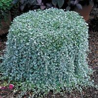 100pcs/ Dichondra Repens lawn seeds money grass hanging decorative garden plants