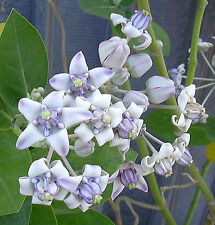 15 Seeds | Calotropis gigantea Purple | Giant Milkweed | Butterflies Love