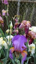 LOT 15 FRESH SPROUTED MIXED BEARDED IRIS RHIZOME BULBS