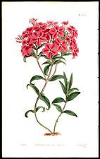 Fraiser's Hairy Phlox 1812 S Edwards  Copper Plate Engraving  Botanical Flower