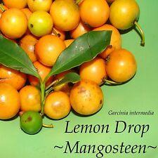~LEMON DROP MANGOSTEEN~ Garcinia intermedia YUMMY YELLOW FRUIT Sml Plant