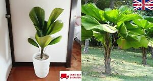 Licuala Grandis (Ruffled Fan Palm) 5 Seeds Indoor House Plant Same Day Dispatch