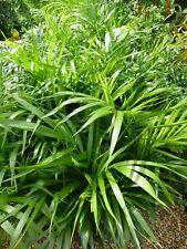 Plants Golden Cane Palms   200mm pots  aprx 1m hgt   2 pots for   $45-