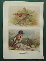 Vintage Uccello Stampa ~Fringuello~ Brambling