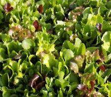 Mesclun salad lettuce mixed seeds 300 vegetable garden seeds NOT FOR WA OR TAS