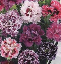 Clove Flower Seeds Dianthus Chinese Terry Mix from Ukraine