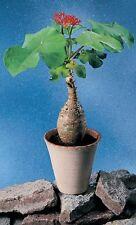 JATROPHA PODAGRICA  Buddha Belly or Coral plant RARE Succelent