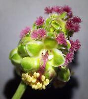 wunderschöne Blüten: Pimpinelle - kleiner Wiesenknopf - ein Würzkraut