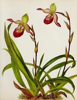 Vintage Botanical ORCHID Print Pink Flower Gallery Wall Art Phragmipedilum #2730