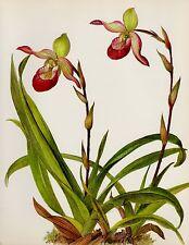Vintage Botanical ORCHID Print Pink Flower Wall Art Phragmipedilum 3803-122