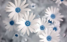 Framed Print - White & Blue Daisies Close View (Picture Poster Art Flower Roses)