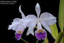 Cattleya trianae coerulea 5 bulbs/shoots 7 x 14 Y.P.