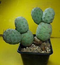 Tephrocactus geometricus 6 BIG BALL deep strong grafted copiapoa aztekium cactus