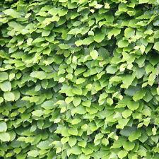 30 x Beech Hedging Trees Sapling Seedling Garden Hedge 30-50cm (Fagus sylvatica)