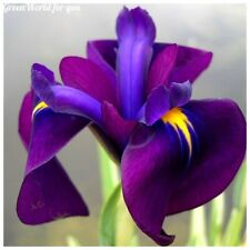 50 Iris ensata Flower Seeds Beautiful Decorative Perennial Fragrant Garden Plant