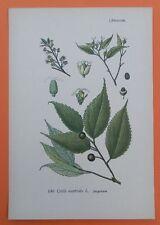 Europäischer Zürgelbaum (Celtis australis) THOME Lithographie 1890