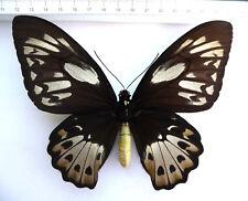 Ornithoptera P. Poseidon F EX Sorong, l'Indonésie ko5/9