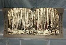 Antique Keystone Stereoview Card #15987 Eucalyptus Gum Tree Australia