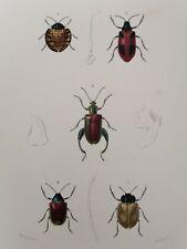 Orbigny Gravure Sur Acier XIXème Coléoptères Sagre Alurne Blanchard pinx 1849