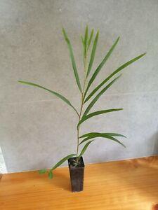 Acacia obtusifolia tubestock