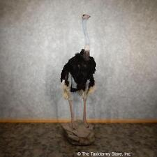 #19438 P+ | Standing Ostrich Life-Size Taxidermy Mount For Sale
