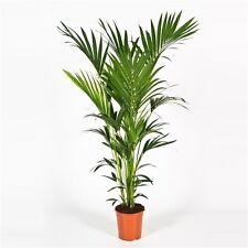 Kentia Palme 140 -150 cm Howea Kentia Forsteriana Zimmerze Palme Blumenversand